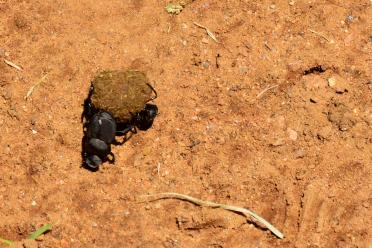 Dung beetle - doin' work