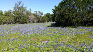Willow Loop - bluebonnet field (1)