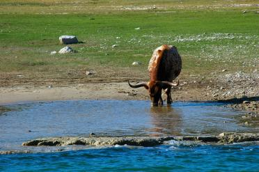 longhorn-reflections-1-