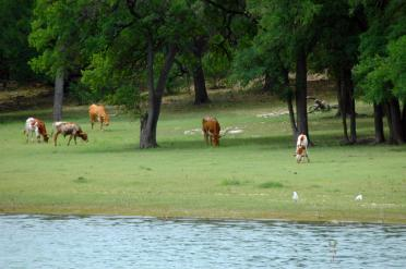 longhorns-in-the-cove-1-