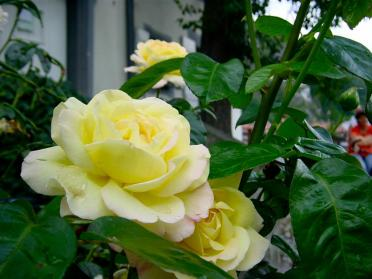 just-the-yellow-roses