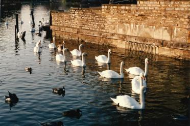 Stratford swans in a row