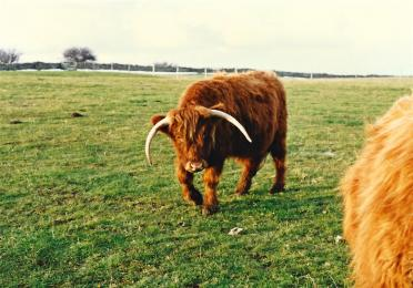 Highland Cattle - Broadway Tower (2)